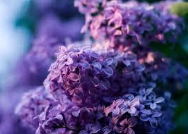 Kwitnące bzy