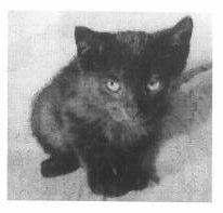 Plik dostępny cyfrowo – czarny mały kotek, wiek 2-3 miesiące