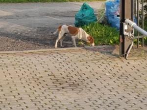 Plik dostępny cyfrowo – pies mieszaniec, średni, kolor biały z beżowymi plamami