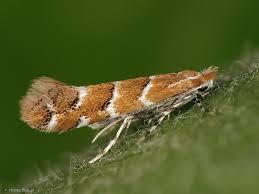 Motyl szrotówka kasztanowcowiaczka.