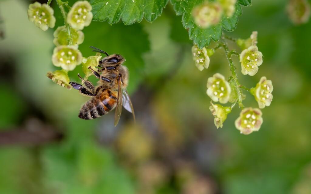 Zdjęcie pszczoły.